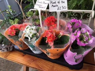 Primula Obconica are on special offer until the end of the month.