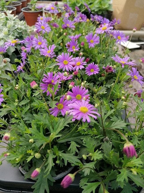Brachycombe daisy