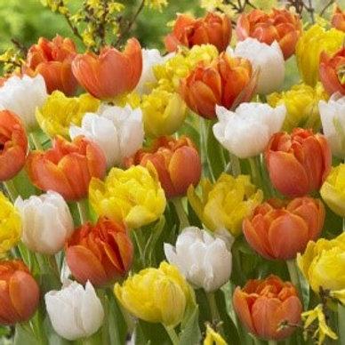 Tulip 'Monte Mixed' (10 pack)