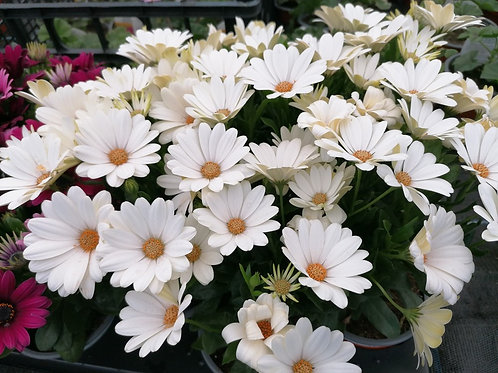 Creamy White Osteospermum