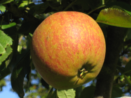 Coxes orange Pippin apple