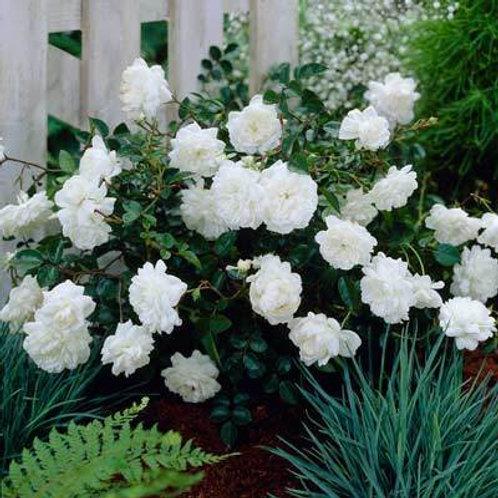 Rose The Fairy White