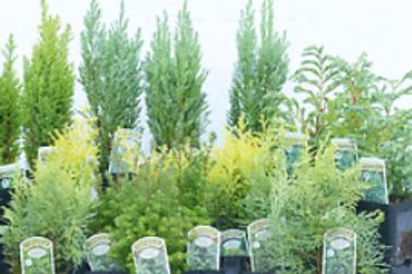 Conifers, dwarf, assorted