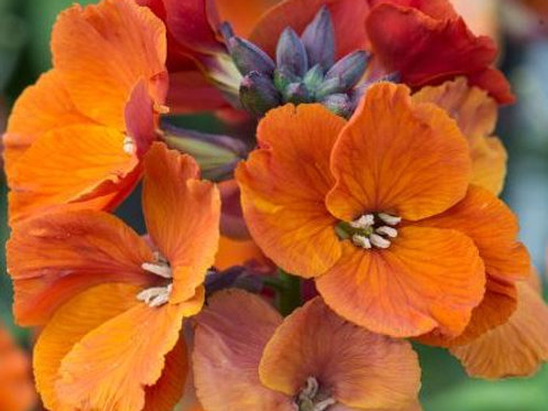 Erysimum Spring Breeze     NEW!