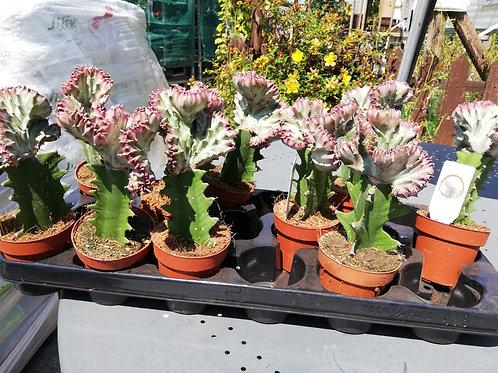 Cacti - Euphorbia