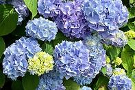 blue hydrangea.PNG