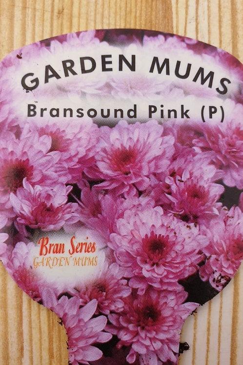 Chrysanthemum Bransound pink