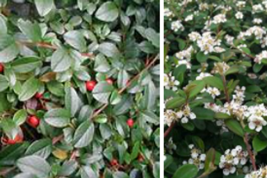Cotoneaster Dammeri (bearberry cotoneaster)