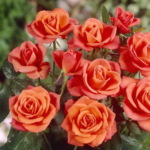 Rose Super Star