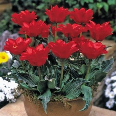 Tulip 'Double Red Riding Hood' (10 pack)