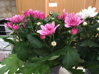 Take the colour in your garden from Summer into Autumn with our Chrysanthemum plants