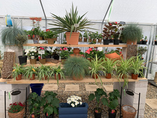 We have lots of lovely plants for you to buy here at the nursery.