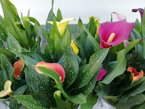 Calla Lilies assorted colours