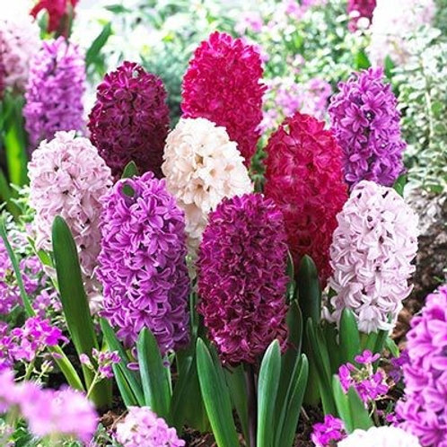 Hyacinth 'Passion' Mix (Pack 3)