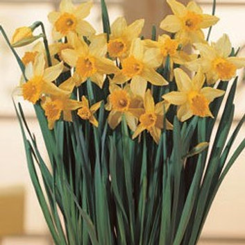 Narcissi 'February Gold' (Pack 10)