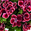 Thumbnail: Geranium Regal - Aristo Red Beauty