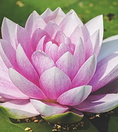 water-lily-3504363_960_720.webp