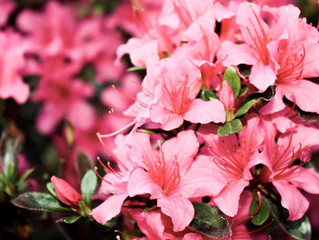 Plant of the Week this week is the Azalea.