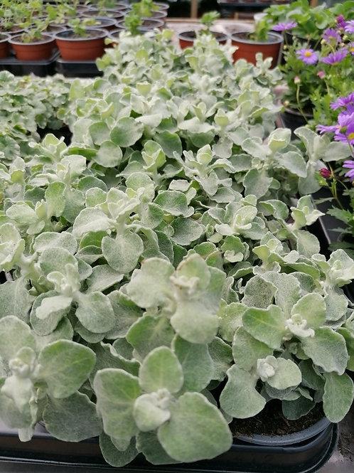 Helichrysum silver