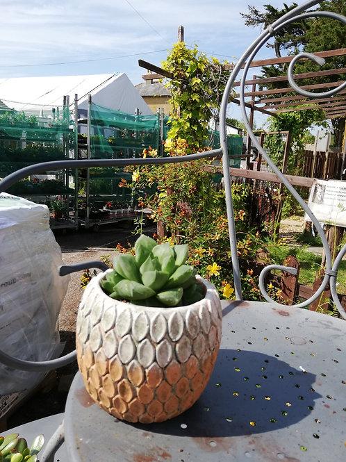 Houseplant, in pot