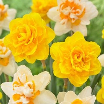 Narcissi 'Heamoor' (Pack 10)
