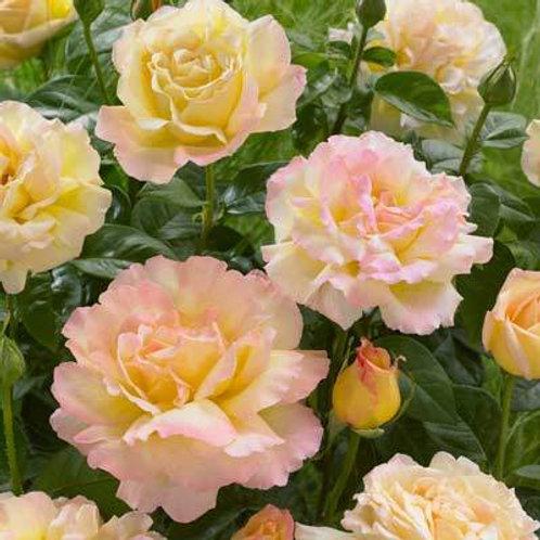 Rose Peace Hybrid Tea