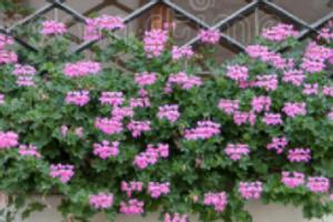 Ivy geranium - assorted colours
