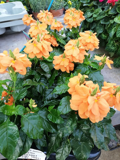 Crossandra Fortuna - Firecracker Flower