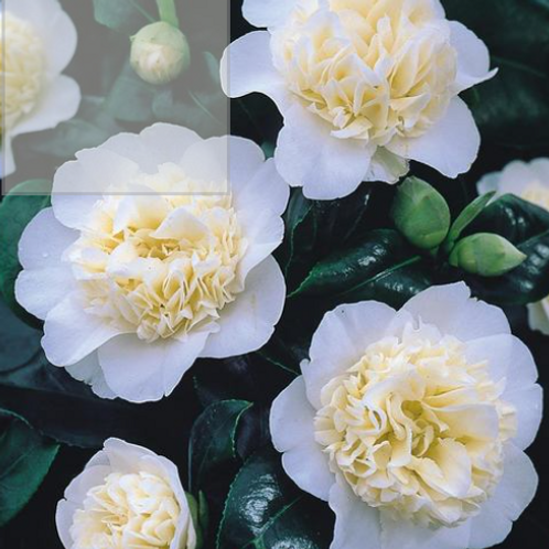 Camellia - Brushfields yellow