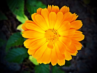 Birth flower for October is the Marigold