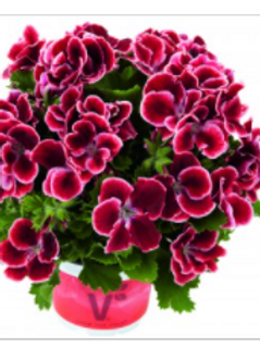 Regal pelargonium Red Beauty (protect from frost)