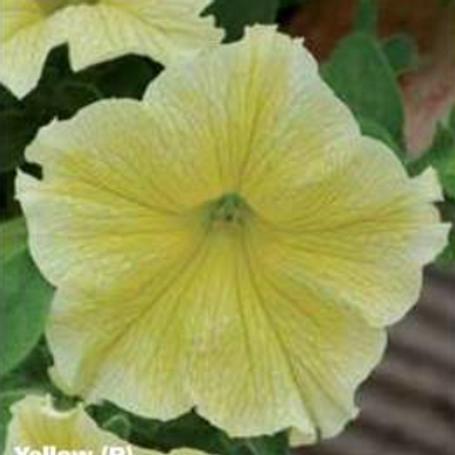 Petunia Fanfare Yellow