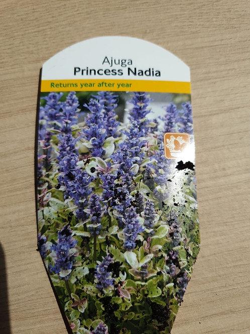 Ajuga - Princess Nadia