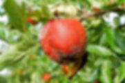 Diseased red apple with white specks  on tree