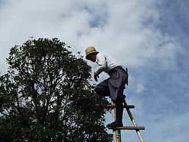 Man on a ladder pruning a fruit tree