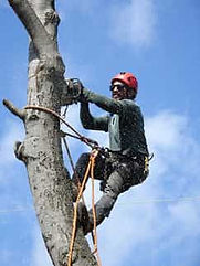 This is an image of a tree service worker climbing a tree
