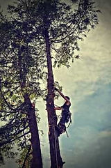 Wide side view shot of a tree trimmer climbing up a tall tree with safety equipment