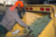 Image of a man putting a christmas tree into a tree grinding machine