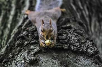 Close up image of a squirrel holding a nut withtwo hands lying flat on a tree trunk horizontally