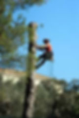 Side view of a tree service worker climbing  tree using safety cables