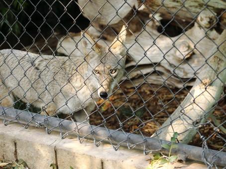 UC Merced Mascot Boomer the Bobcat at Merced Zoo