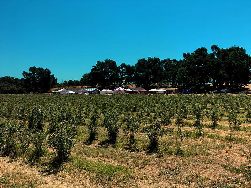 fresh blueberries ready to pick