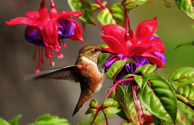 hummingbird-colibri