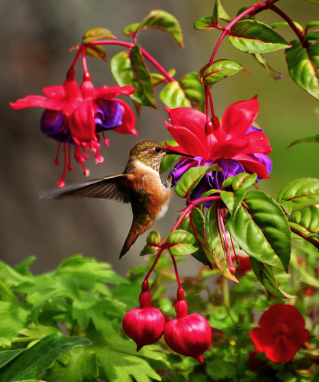 Local hummingbird.