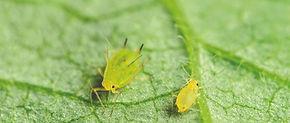 Soybean-aphid.jpg
