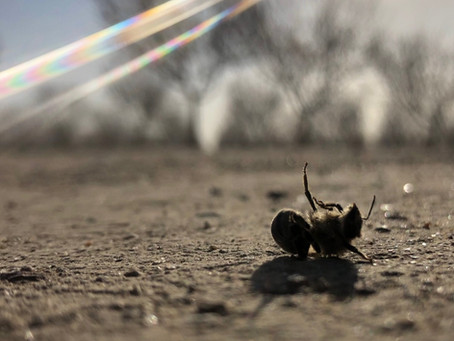 Dicamba and Bees