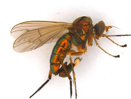 Dolichopus cuprinus, the Long-Legged Fly