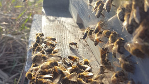 Healing the Soil to Solve the Bee Problem - A Brief Essay