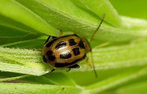 bean-leaf-beetle.jpg