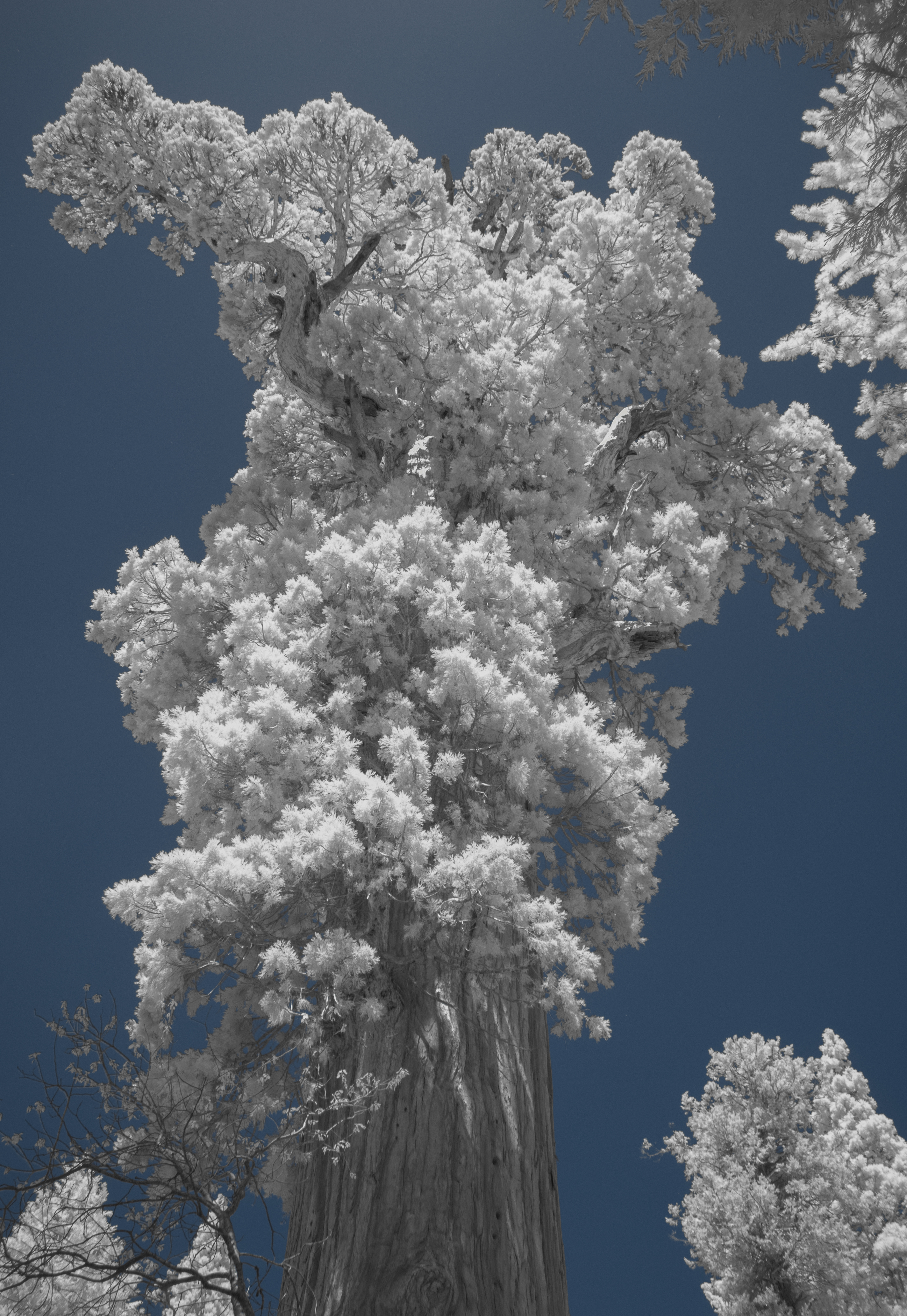 Sequoia in Infrared